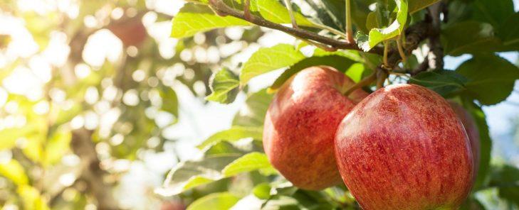 Apple-Orchard-1500x609